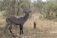 Homem da cabra da água que está entre os arbustos no arbusto s imagem de stock