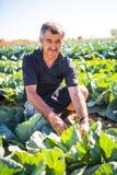 Homem da Idade Média com couve orgânica da salada em um jardim vegetal agricultura Fotos de Stock