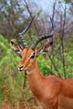 Homem da impala no parque nacional de Kruger outono em África do Sul Imagens de Stock Royalty Free