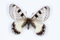 Homem de Apollo falso, borboleta do apollinus do Archon Foto de Stock Royalty Free