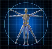 Homem de esqueleto humano de Vitruvian Fotos de Stock Royalty Free