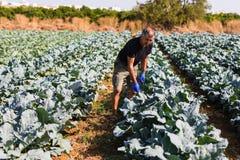 Homem de jardinagem com salada orgânica em um jardim vegetal luz solar, espaço da cópia Fotos de Stock