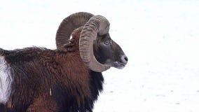 Homem de Mouflon vídeos de arquivo