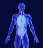 Homem de vidro com órgãos internos Foto de Stock