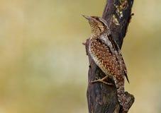Homem de Wryneck no tronco de árvore fotos de stock royalty free