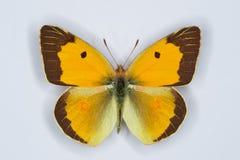 Homem do amarelo Clouded, borboleta do croceus de Colias imagem de stock royalty free