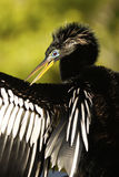 Homem do Anhinga (anhinga do Anhinga) Foto de Stock