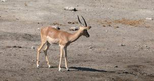 Homem do antílope da impala, animais selvagens de Namíbia video estoque