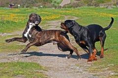 Homem do corso do bastão e jogo fêmea de Rottweiler imagens de stock