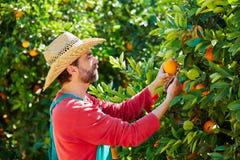 Homem do fazendeiro que colhe laranjas em uma árvore alaranjada Fotos de Stock Royalty Free