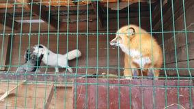 Homem do Fox vermelho comum e da raposa prata-preta fêmea video estoque