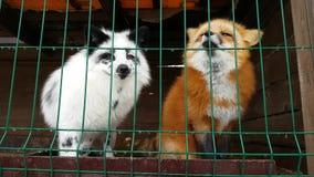 Homem do Fox vermelho comum e da raposa prata-preta fêmea vídeos de arquivo