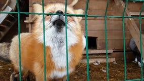 Homem do Fox vermelho comum e da raposa prata-preta fêmea filme