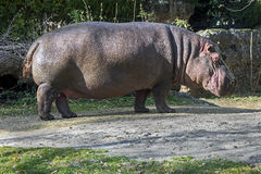 Homem do hipopótamo Fotografia de Stock Royalty Free