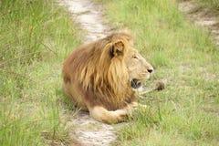 Homem do leão em África Fotografia de Stock Royalty Free