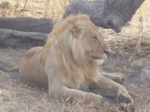 Homem do leão em Tanzânia Foto de Stock