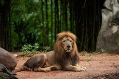 Homem do leão no jardim zoológico Foto de Stock