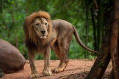 Homem do leão no jardim zoológico Fotografia de Stock Royalty Free