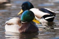 Homem do pato de dois patos selvagens na água Imagem de Stock Royalty Free