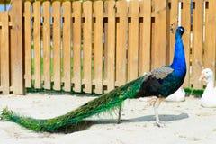 Homem do pavão do pássaro Foto de Stock