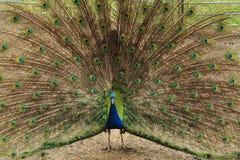 Homem do Peafowl Fotos de Stock