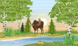 Homem dos alces com os chifres grandes dobrados sobre o rio Banco de rio com grama, árvores e árvores de vidoeiro ilustração do vetor