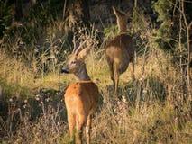 Homem dos cervos de ovas que olha esquerdo quando a fêmea correr nas madeiras Fotografia de Stock Royalty Free