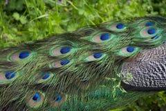 Homem dos jovens do pavão Foto de Stock Royalty Free