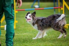 Homem e cão em um curso da agilidade Imagens de Stock