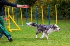Homem e cão em um curso da agilidade Fotografia de Stock