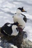 Homem e cormorão antártico de olhos azuis fêmea que sentam-se em um ninho Foto de Stock Royalty Free