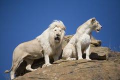 Homem e fêmea brancos do leão na vigia foto de stock royalty free