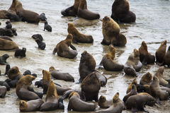 Homem e fêmea de leões de mar Imagem de Stock Royalty Free