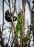 Homem e fêmea do camaleão Fotografia de Stock Royalty Free