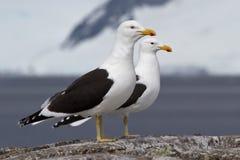Homem e gaivota dominiquense fêmea que estão em uma rocha perto do nesti Fotografia de Stock