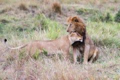 Homem e leão fêmea em Masai Mara fotos de stock