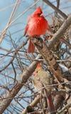 Homem e pássaros cardinais fêmeas na árvore Fotografia de Stock Royalty Free