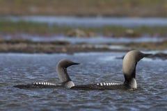 Homem e pacifica pacífico fêmea do mergulhão-do-norte ou o pacífico do mergulhador de Gavia em produzir a natação da plumagem em  foto de stock