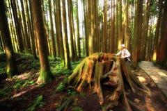 Homem em uma floresta do Redwood imagem de stock