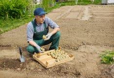 Homem energético idoso que planta batatas em seu jardim fotos de stock royalty free