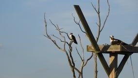 Homem fêmea do ninho da águia pescadora na árvore vídeos de arquivo