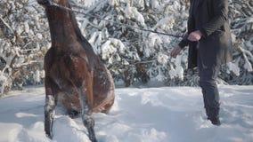 Homem farpado de sorriso que joga com seu cavalo marrom do puro-sangue perto dos abeto Cavalo bonito que balança na neve video estoque