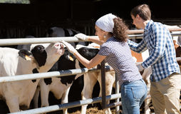 Homem feliz e mulher que afagam felizmente vacas Imagem de Stock