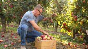 Homem idoso, colhendo uma maçã Muitas maçãs vermelhas bonitas nos ramos no jardim O fazendeiro recolhe video estoque