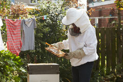 Homem maduro que recolhe Honey From Hive In Garden fotos de stock royalty free