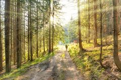 Homem na estrada na floresta verde Imagem de Stock
