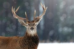 Homem nobre dos cervos na imagem do Natal do inverno da floresta da neve do inverno foto de stock royalty free
