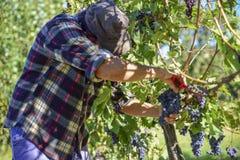 Homem novo do fazendeiro durante a colheita em Itália em um dia ensolarado do outono imagem de stock