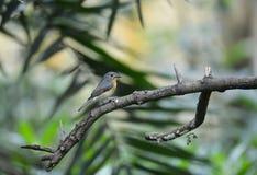 Homem novo do papa-moscas azul do monte, pássaro selvagem em Vietname Fotografia de Stock