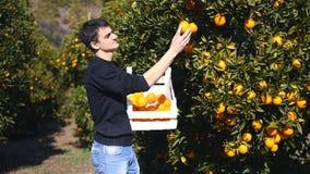 Homem novo que escolhe laranjas maduras video estoque